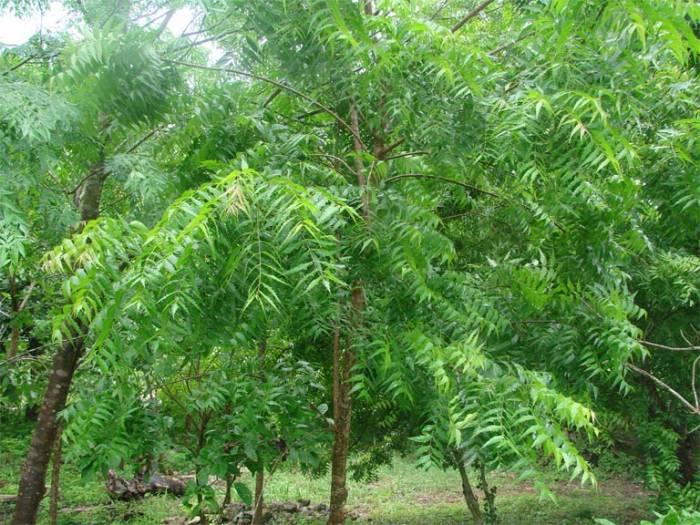 neem-tree